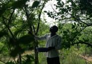 Zimbabwe: cueillette savoureuse de scarabées de Noël sur les branches